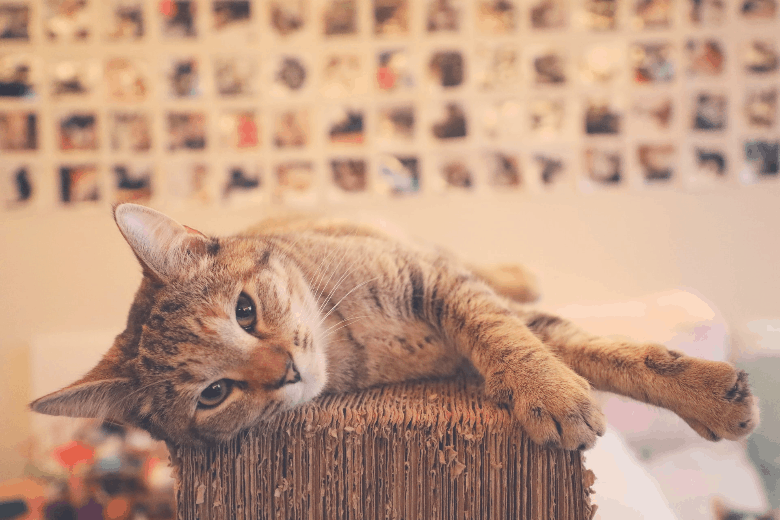 cat trees cat laying