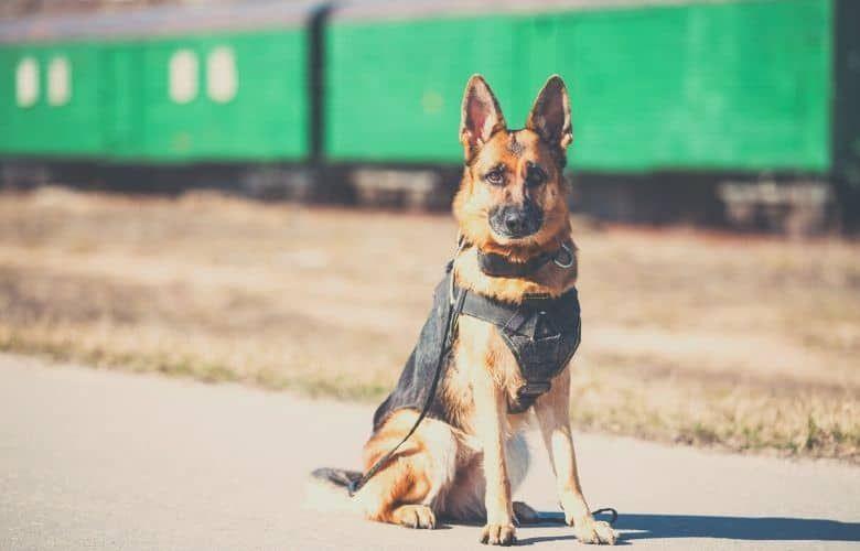 tactical dog harness german sheperd