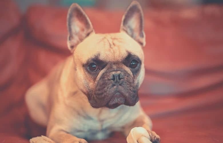 Best dog food for french bulldogs