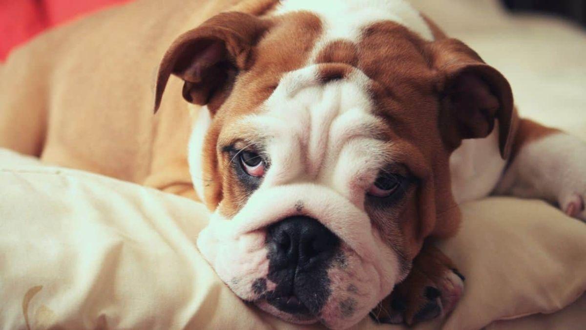 English Bulldog Dog breed