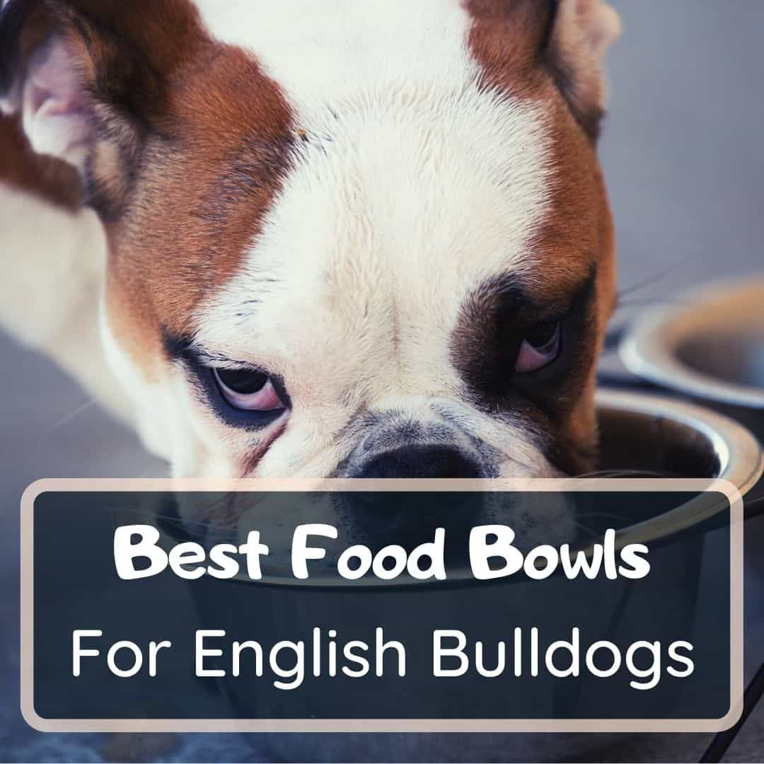 best food bowls for english bulldogs